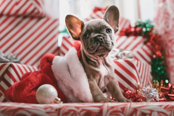 A happy French Bulldog puppy waiting patiently for Santa