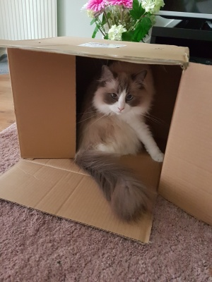 grey white fluffy cat cardboard box
